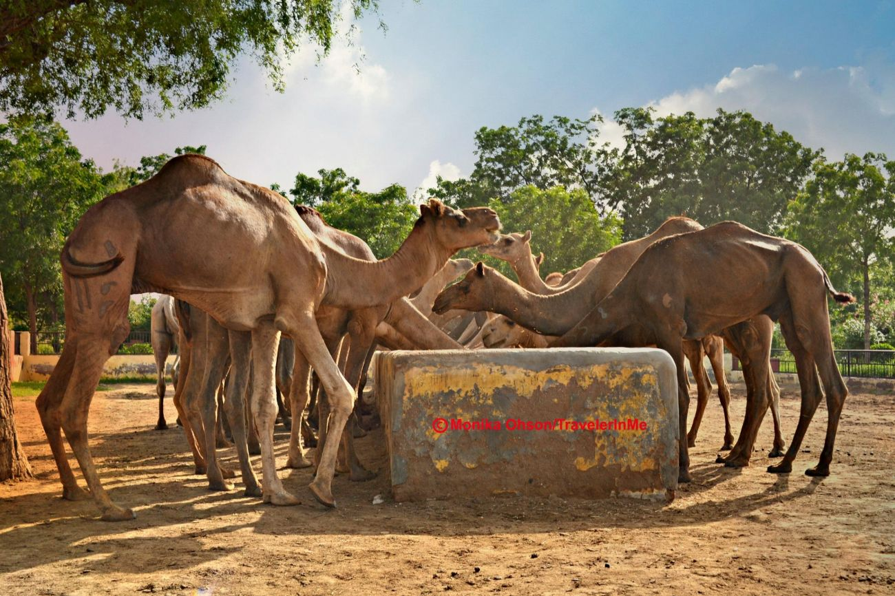 travelogged-17-things-to-do-bikaner-camel-farm_image