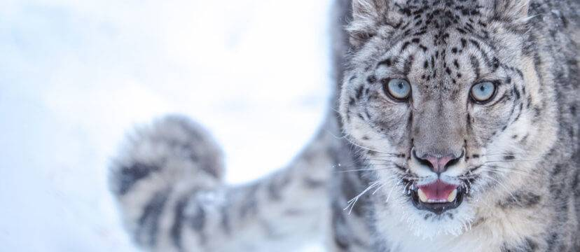 chadar trek snow leopards_image