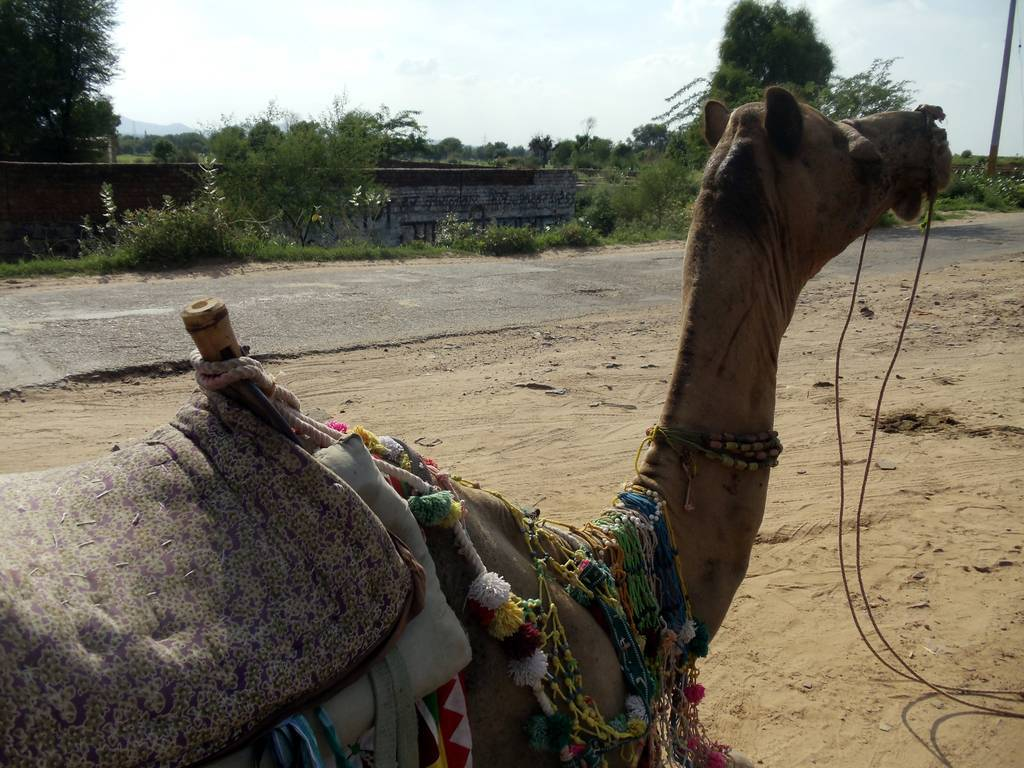 travelogged-3-things-to-do-in-neemrana-camel-image