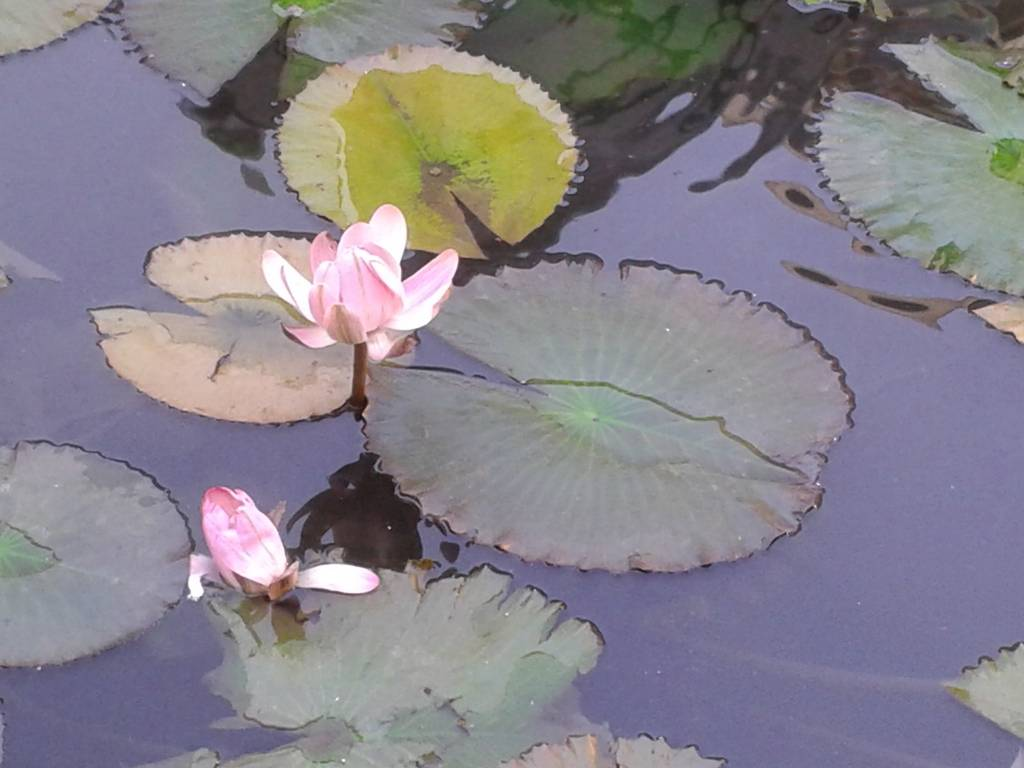 things-to-do-in-indian-habitat-centre-lotus-pond-image