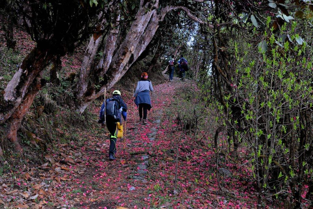 west bengal trek in april Sandakphu Phalut trek rhododendron forests_image